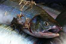 Росрыболовство проверит сообщения о фактах массовой гибели рыбы из-за жары и нехватки воздуха