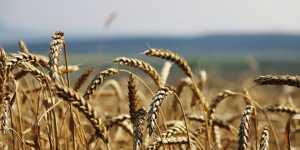 Сбор пшеницы Центра и Поволжья восполнил снижение от засухи в ряде регионов России