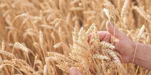 Урожай зерна в России составил более 133 миллионов тонн