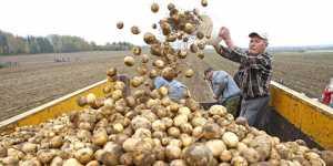 Фермеры предложили пустить в продажу клубни картофеля меньшего калибра