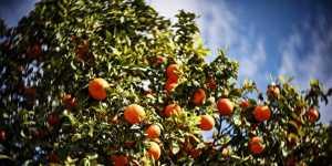 В Испании научились добывать энергию из апельсинов